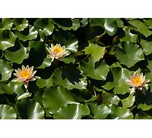 Exotic Colored Waterlilies in the Hot Mediterranean Sun Photographic Print