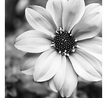 Dahlia in Black and White Photographic Print