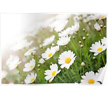 White chamomiles healthy herb Poster