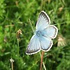 Chalk Hill Blue by Sarah Ellender