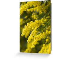 mimosa in bloom Greeting Card