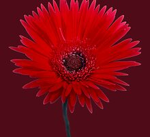 Painted Red Daisy by Roger Otto