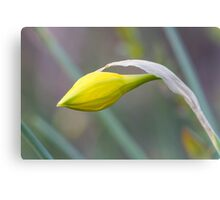 daffodil in spring Canvas Print