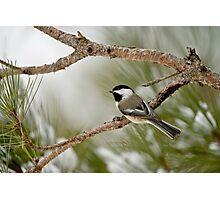 Winter Chickadee Photographic Print