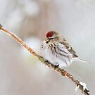 Redpoll - Algonquin Park by Jim Cumming