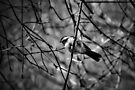 Black-capped Chickadee - B&W by PhotosByHealy