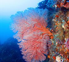Fan Coral by Jamie Kiddle