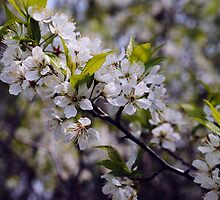 Apple Blossoms by bloomingvine