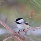 Algonquin Chickadee by Jim Cumming