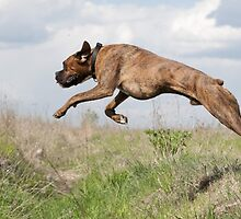 Dog leaping by franceslewis