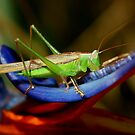 Grasshopper In Paradise by Tull Kidron Photography