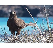 Brown Hawk Photographic Print