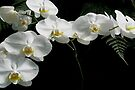 Phalaenopsis aphrodite (Moon Orchid) & Ferns by MotherNature