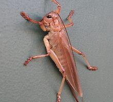 Adult Grasshopper (Locust) by Arthur Richardson