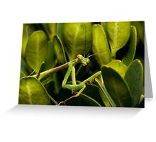 Praying Mantis (adult) Archimantis latistya Greeting Card