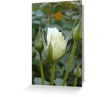 Little white rose 10 Greeting Card