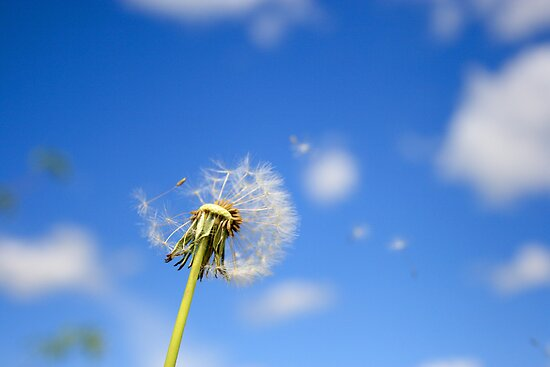 Beautiful dandelion by Kudryashka