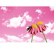 Camomiles beautiful on pink sky Photographic Print
