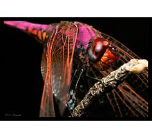 Trithemis Annulata Dragonfly Photographic Print