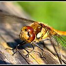 Common darter dragonfly sizing me up!! by Shaun Whiteman