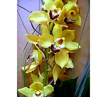 Glorious Yellow Cymbidium Photographic Print