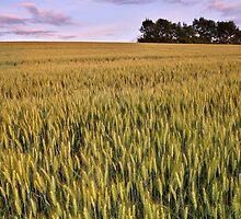 Dusk light on the wheat field by Patrick Morand