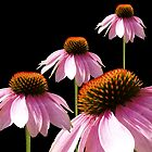 Echinacea in Half  by Cathy  Beharriell