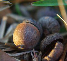 a close look at acorns by Paul Doucette