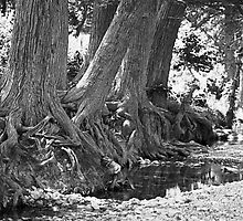 Cypress Trees On The Frio River by Tex Smock