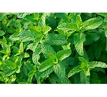 Peppermint herb Photographic Print