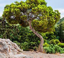 Pinus pinea by Yevgeni Kacnelson