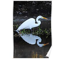 Reflections of Great Egret Poster
