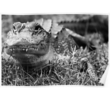 Gray gator Poster