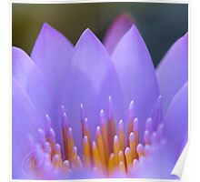 Water lily abstract, ii Poster