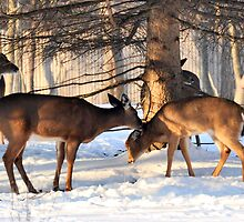 Deer  by Jarede Schmetterer