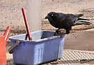 """Yes, I'll Clean Your Window."" Australian Crow  by Carole-Anne"
