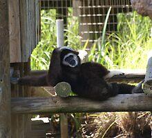 White Handed Gibbon by Chris Kettlewell