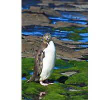 Yellow-eyed Penguin Portrait Photographic Print
