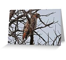 Mister Red-Tailed Hawk Greeting Card