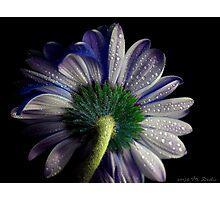 Rainy blue gerbera shining Photographic Print