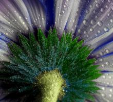Rainy blue gerbera shining Sticker