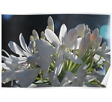 Happy white Agapanthus  Poster