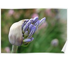 Agapanthus : Delivery  Poster
