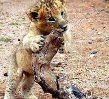 Lion Cub by Raymond  Ah Sing