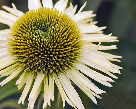 Hedgehog or Flower? (Purple Coneflower) by kilmann