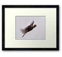 Black Cockatoo In Flight  Framed Print