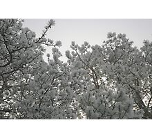 Frosty Pines Photographic Print