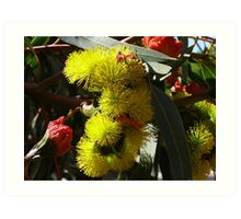 Red Capped Gum -illiarrie- Native, in garden. Adelaide Hills. Art Print