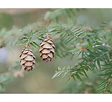 Conifer Photographic Print