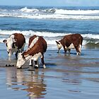 Cattle at shore line at Kings run north of Arthur River in far nor west Tasmania by phillip wise